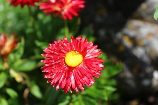 everlasting flower in the garden