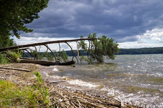 Large tree fallen into the sea during a storm lying supported on the branches above the water in a low angle view from the beach against a dramatic stormy sky