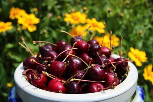 harvested cherries in the garden