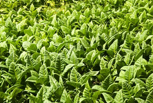horizontal view of field planted with tobacco leaves