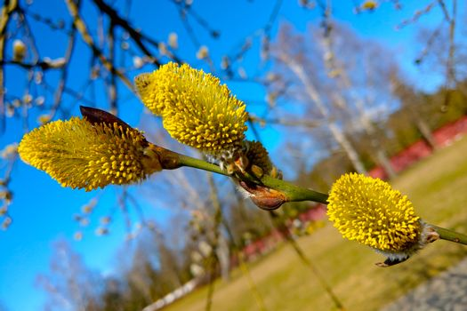 Close-up of yellow pussy willow buds bloom in spring