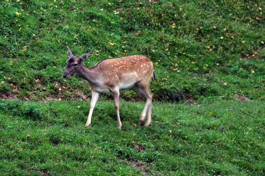 A beautiful spotted small deer stands on a hill