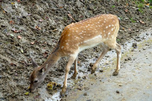 A small sika deer is looking for food