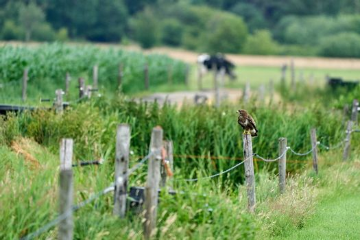 Common buzzard resting on a pole with fields in the background.