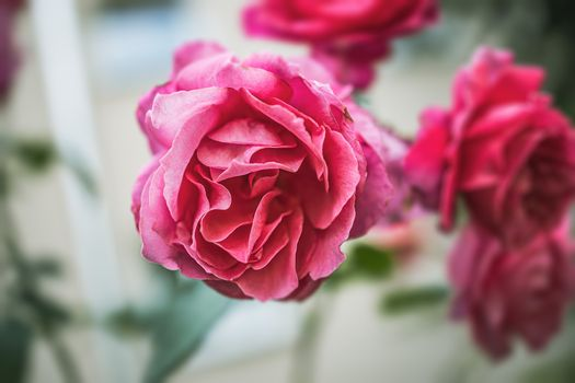 beautiful pink rose on a light garden background in close-up