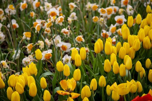 Group of tulip flowers blooming in the garden