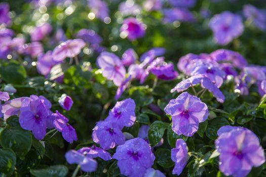 Vinca purple flower with water drop in the garden