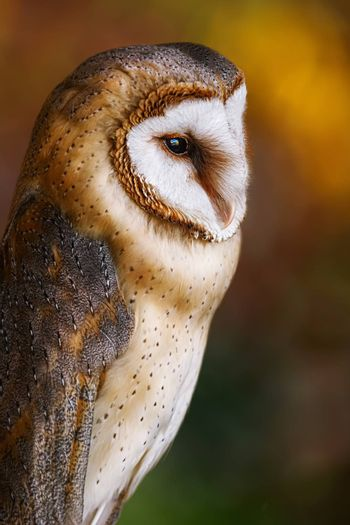 Common barn owl (Tyto alba), the most widely distributed species of owl in the world