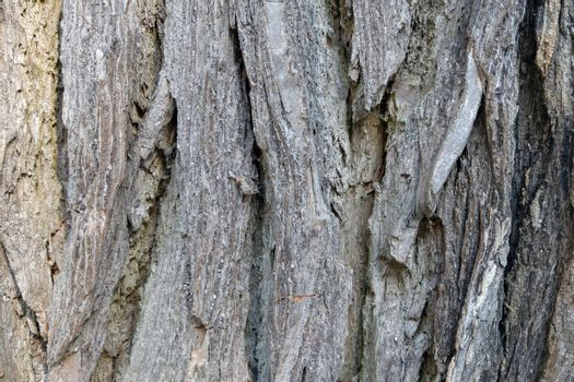 The structure of a large tree trunk close up. Background, texture