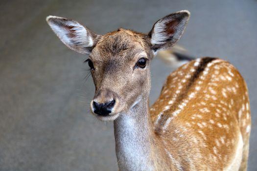 Beautiful young sika deer close-up. Wild nature