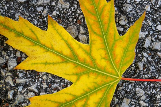 Close-up on the road lies a yellow maple leaf. Fall