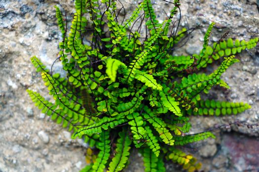 green fern as a background, close-up, nature