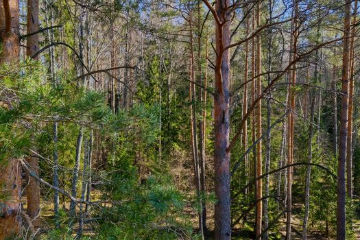 Dense green pine forest. Ecosystem. National park