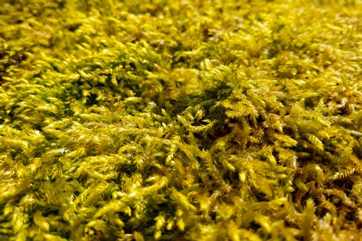 Close-up of yellowed moss in autumn. Background