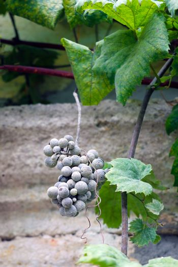 Large green leaves of grapes. Out of focus blue bunch of grapes