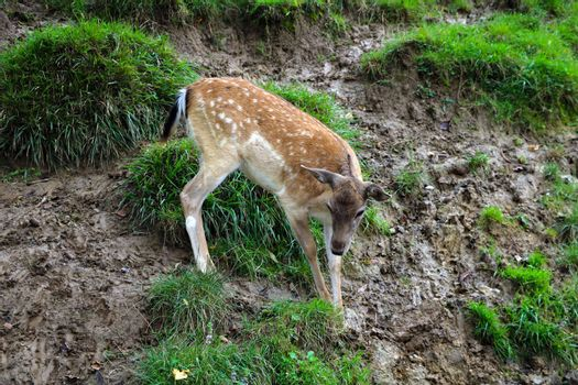 A small sika deer stands in a green meadow