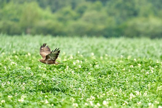 One common buzzard, buteo buteo, on spring field, one buzzard with spread wings taking, place for text.