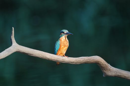 Malachite Kingfisher - Alcedo cristata, beautiful small blue and orange river kingfisher. With copy-space.