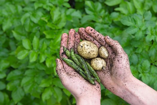 Garden produce, beans and potatoes, held in youthful hands.