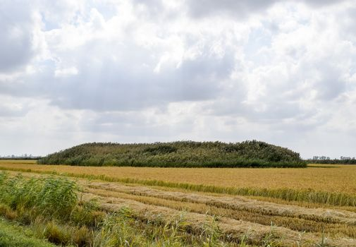 Kurgan grave of ancient wars overgrown with reeds in the middle of the rice field.
