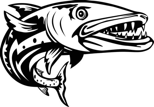 Retro woodcut style illustration of a barracuda or Sphyraena barracuda, a large, predatory saltwater ray-finned fish of the genus Sphyraenapredatory, swimming up from front on isolated background done in black and white.