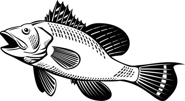 Retro woodcut style illustration of a black sea bass Centropristis striata, an exclusively marine grouper, swimming up viewed from side on isolated background in black and white.