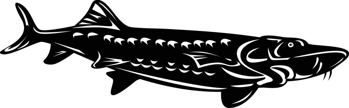 Retro woodcut style illustration of a Atlantic sturgeon Acipenser oxyrinchus oxyrinchus, a member of the family Acipenseridae swimming down isolated background done in black and white.