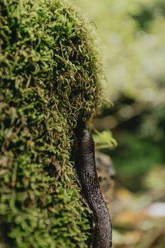 Close up of a slug on the moss