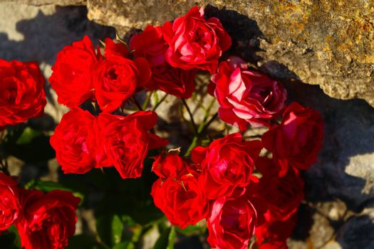 Close-up view of red garden roses. nature