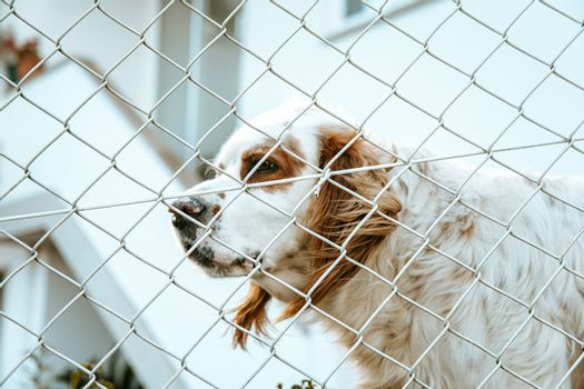 White and brown shelter dog looking through a fence