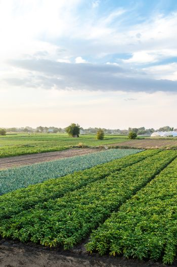 Landscape of green potato bushes plantation. Growing food on farm. Agroindustry and agribusiness. Wonderful european summer countryside landscapes. Aerial view Beautiful countryside farmland.
