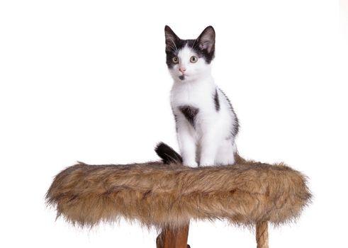 Cute kitten on top of a scratch pole