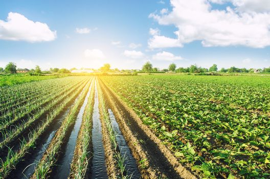 Water flows through irrigation canals on a farm leek onion plantation. Water supply system, cultivation in arid regions. Agriculture and agribusiness. Caring for plants, growing food.