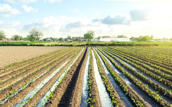 Plantation of young eggplant seedlings is watered through irrigation canals. Caring for plants, growing food.Water supply system, cultivation in arid regions. European farm, farming. Rural countryside