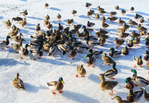 A huge flock of ducks eat abandoned bread on the ice of a frozen pond on a clear frosty winter day.