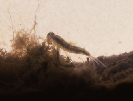 Fly larva with gills in the soil mud macro