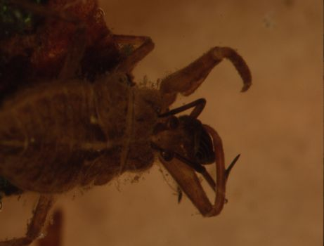 Close-up of water scorpion with tentacles and compound eyes