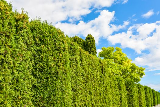 Arborvitae green hedge with cloudy sky above.