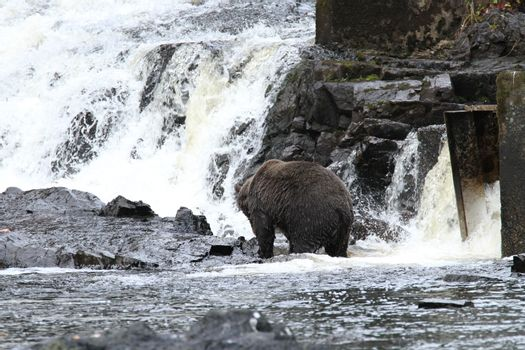 Bear viewing in Pavlov lake and pack creek, alaska