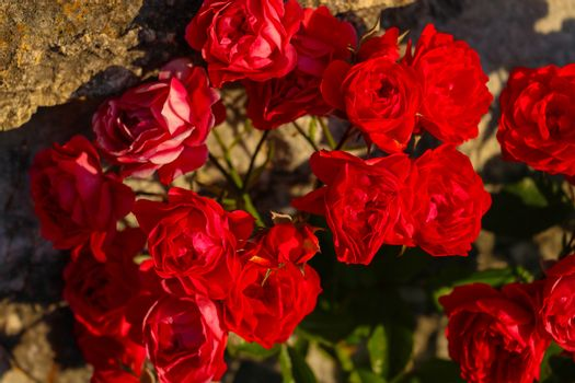 Beautiful red small roses in the garden. Close-up