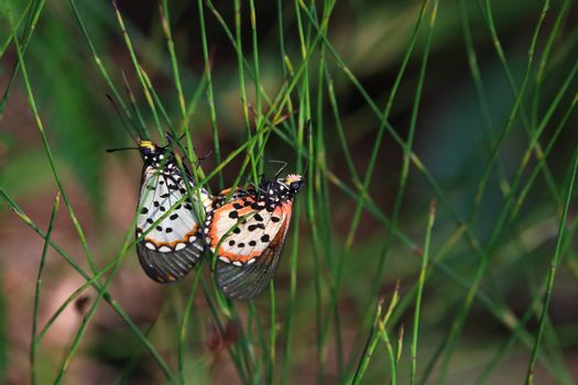 A mating pair of garden acraea butterflies (Acraea horta) on restio plant, George, South Africa