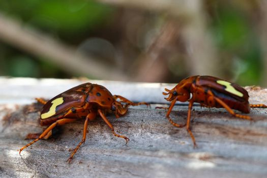 A pair of zig-zag fruit chafer beetles (Anisorrhina flavomaculata), Mossel Bay, South Africa