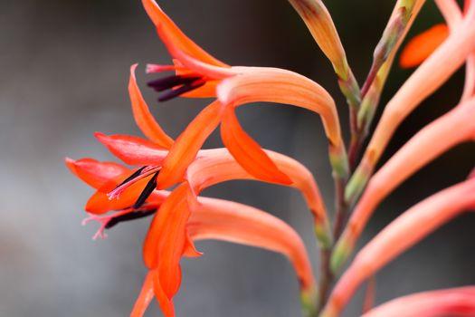 Vibrant red summer watsonia flowers (Watsonia pillansii) on stalk, George, South Africa