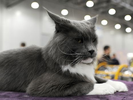 Pedigreed cat at the exhibition