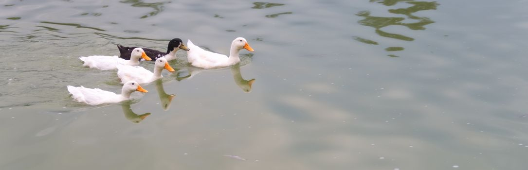 4 white ducks and a black duck swimming in a lake. Ugly Duckling