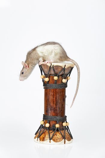 Rat and drum on an isolated studio background
