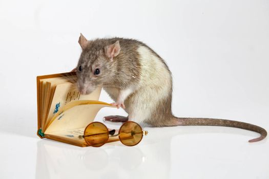 Rat and book on an isolated studio background
