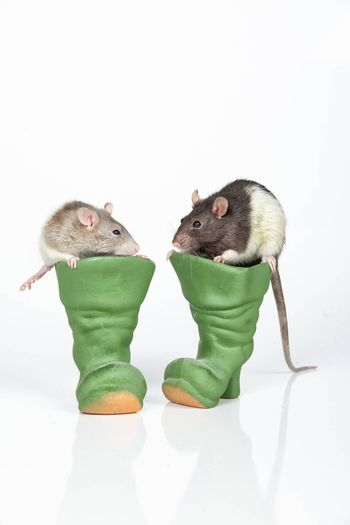 Two rats and toy ceramic boots on an isolated studio background