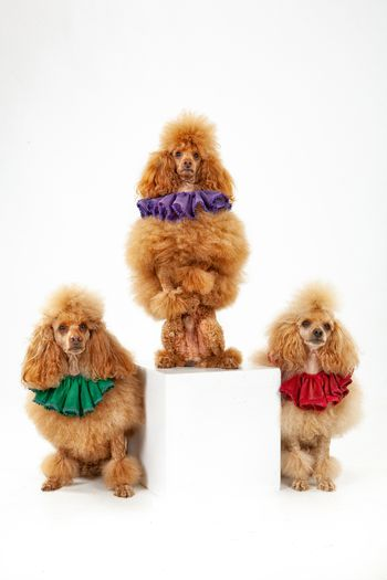 Three trained poodles on an isolated studio background