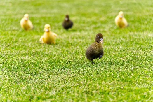 Small newborn ducklings walking on backyard on green grass. Yellow cute duckling running on meadow field on sunny day